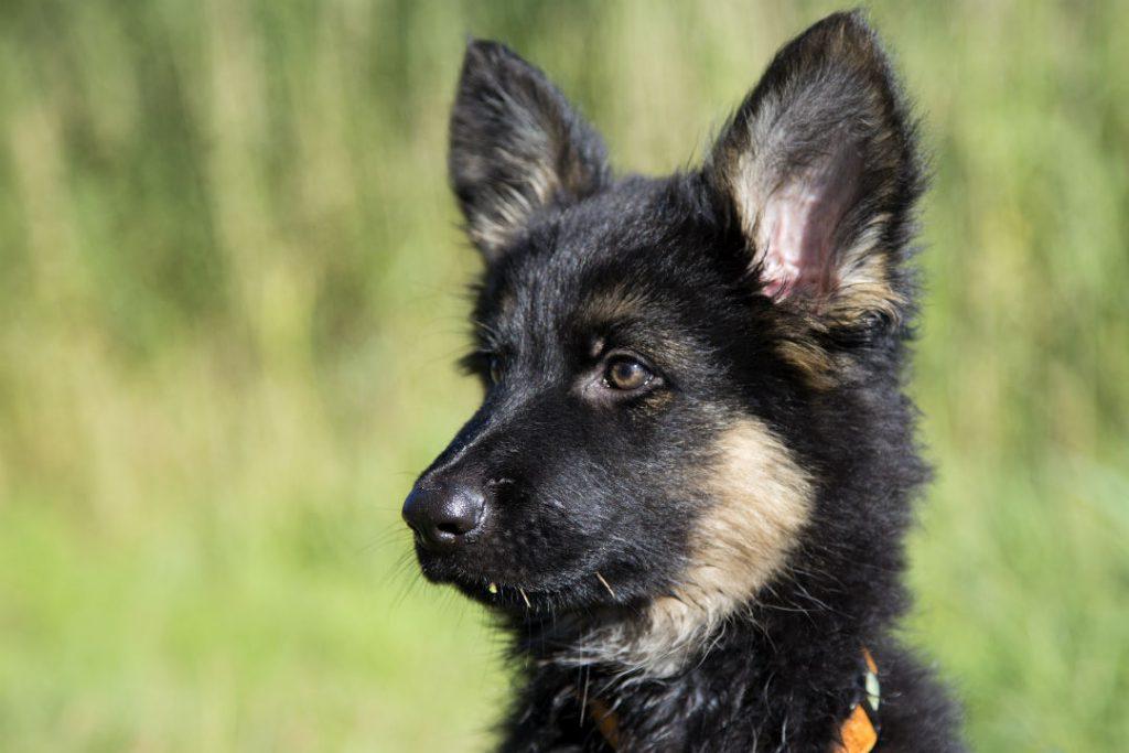 Pup herder DARF