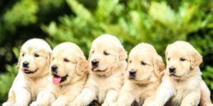BARF voeren aan pups